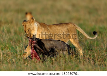 Lioness carries her wildebeest prey in the shadow in Masai Mara, Kenya - stock photo