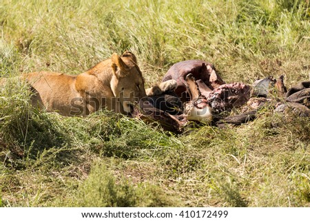 lioness chewing on carcass in serengeti national park, tanzania - stock photo