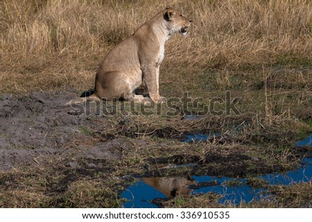 Lioness, Chobe national park reserve, Botswana - stock photo
