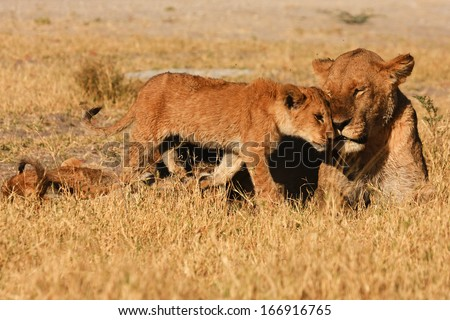 Lioness, cubs, cuddling, South Africa - stock photo