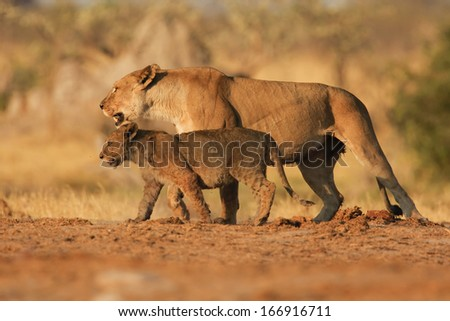 Lioness,  cubs, South Africa - stock photo