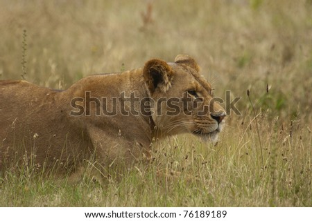 Lioness grazing in Africa - stock photo