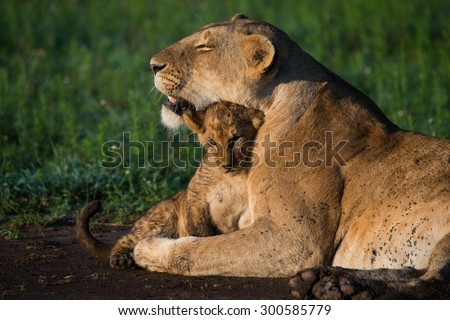 Lioness hugging her cub masai mara kenya - stock photo