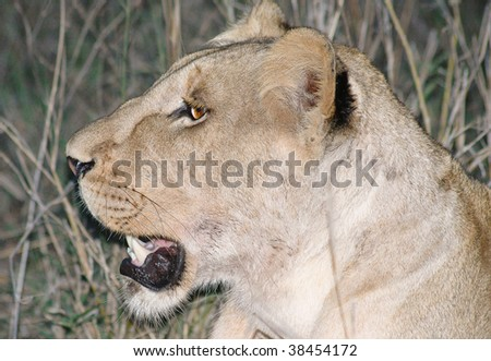 Lioness hunting at night - stock photo