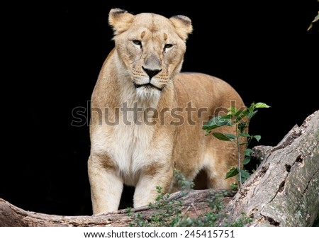 Lioness in a natural black background - stock photo