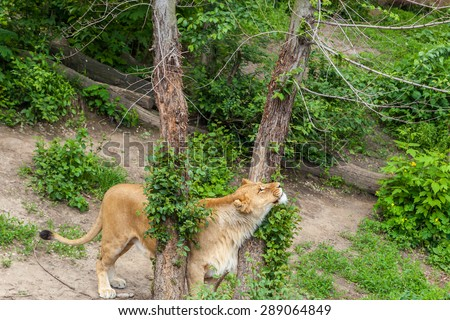 Lioness in a zoo, Kyiv, Ukraine