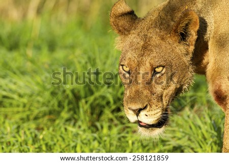 Lioness in Central Kalahari Game Reserve, Botswana - stock photo