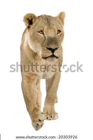 lioness in front of a white background