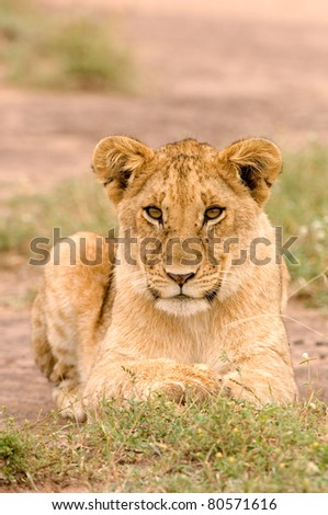 Lioness in Kenya's Masai Mara looking directly into the camera - stock photo