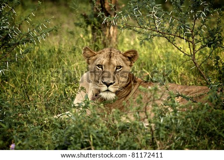 Lioness in Kruger National Park, South Africa - stock photo