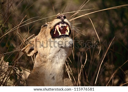 lioness in luangwa national park zambia - stock photo