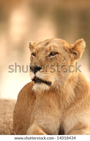 Lioness in Sabi Sands Reserve, South Africa
