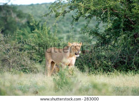 Lioness in the African bush - stock photo