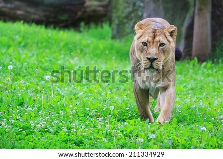 lioness in the grass - stock photo
