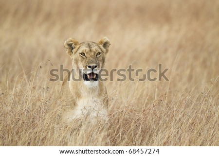 Lioness in the grass, Masai Mara National Reserve, Kenya, Africa - stock photo