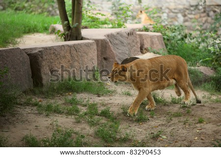 Lioness in the Kiev zoo runing - stock photo