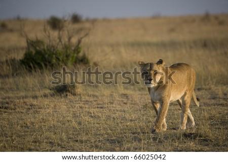 Lioness in the Masai Mara - stock photo