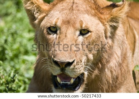 Lioness in the Serengeti national park, Tanzania