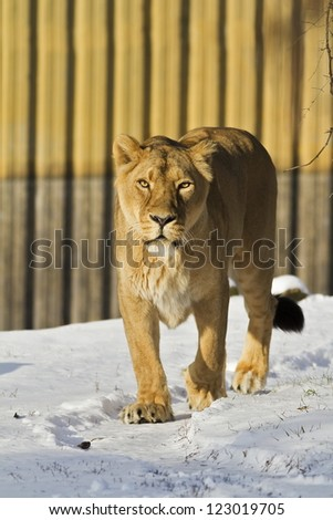 lioness in the winter - stock photo