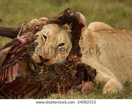 Lioness into a Wildebeest kill. - stock photo