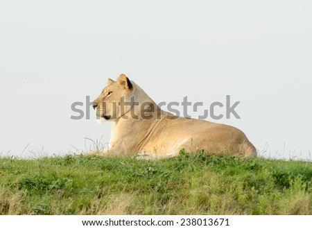 Lioness is resting on grass in profile looking alert - stock photo