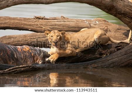 Lioness keeps her eye on us while on a Hippo kill. Ruaha National Park, Tanzania. - stock photo
