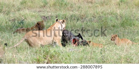 Lioness killing a wildebeast in the Masai Mara