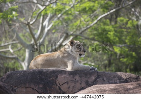 Lioness laying on rocks overlooking below - stock photo