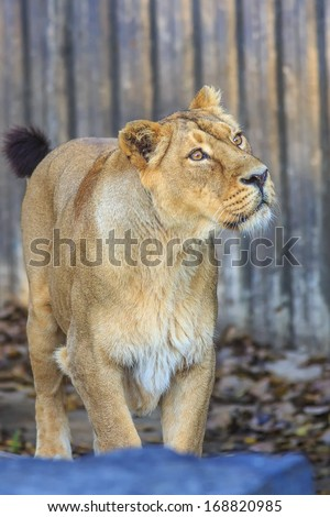 lioness  looking up - stock photo