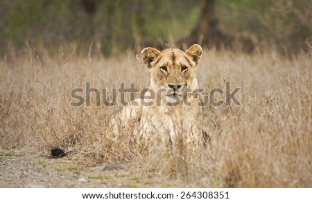 lioness lying down in the bush, Kruger, South Africa