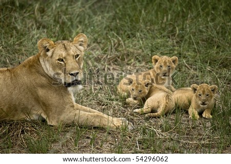 Lioness lying with her cubs in grass, looking at camera - stock photo
