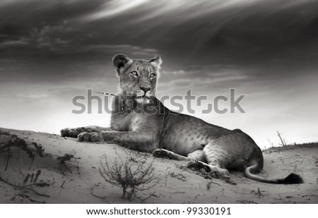 Lioness on desert dune (Artistic processing) - stock photo