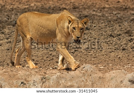 Lioness on the move - stock photo