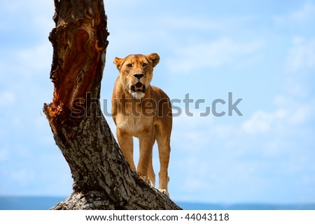 Lioness on tree in central Serengeti national park, Tanzania - stock photo
