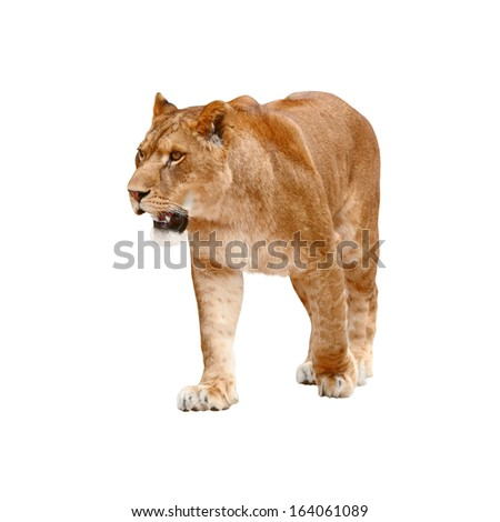 Lioness on white background  - stock photo