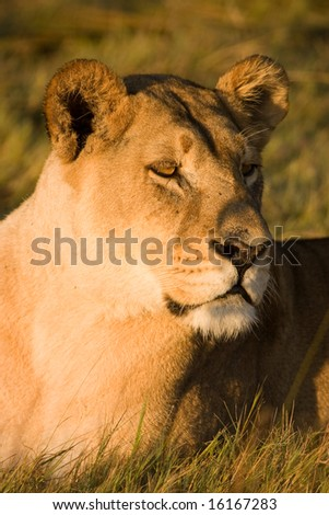 Lioness (Pantera Leo) - stock photo