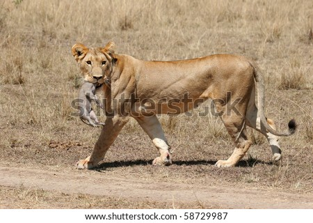 Lioness, Panthea leo, with Warthog carcass, Phacochoerus africanus, in her mouth - stock photo
