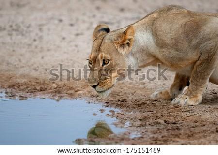 Lioness (Panthera leo) drinking water at a waterhole, Kalahari, South Africa  - stock photo