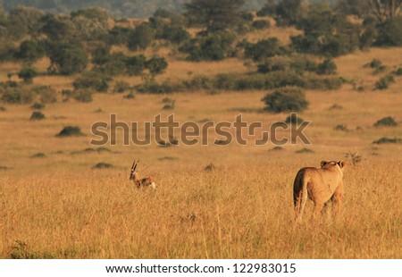 Lioness (Panthera Leo) Hunting a Thomson Gazelle in the Morning Light, Maasai Mara, Kenya - stock photo
