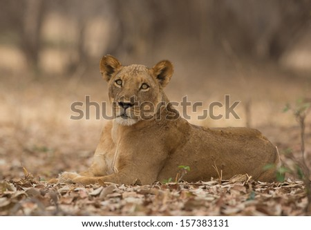 Lioness (Panthera leo) lying down