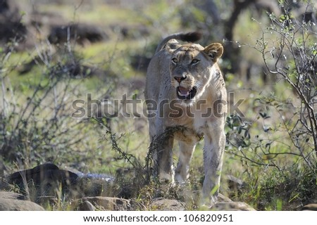 Lioness (Panthera leo) on the carcass of a giraffe, Umfolosi game reserve,Kwazulu Natal, South Africa - stock photo