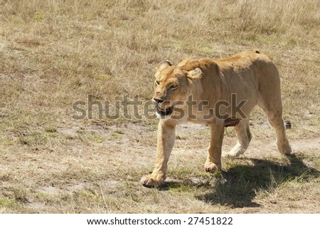 lioness (Panthera Leo) walking  in  Masai  Mara National Park, Kenya, East Africa