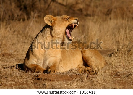 Lioness (Panthera leo) yawning with teeth visible, South Africa - stock photo