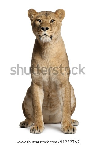 Lioness, Panthera leo, 3 years old, sitting in front of white background - stock photo