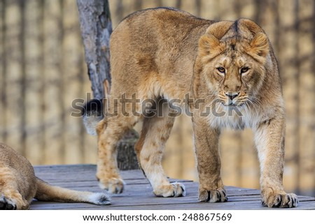 lioness portrait - stock photo
