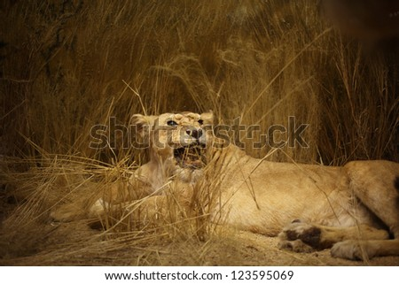 Lioness portrait, a horizontal picture - stock photo