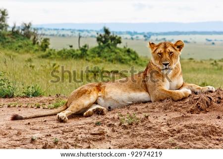 Lioness portrait from Kenya - stock photo