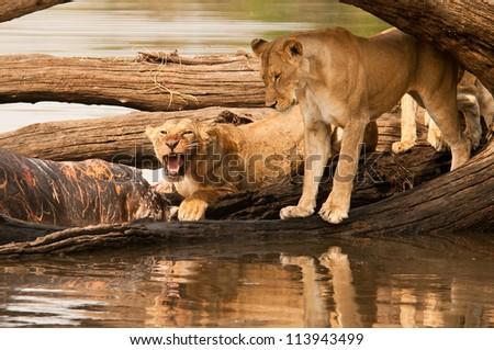 Lioness protects her kill.  Ruaha National Park, Tanzania. - stock photo