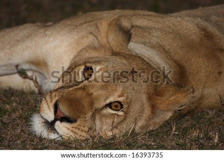 Lioness resting at night waiting to go hunting. - stock photo