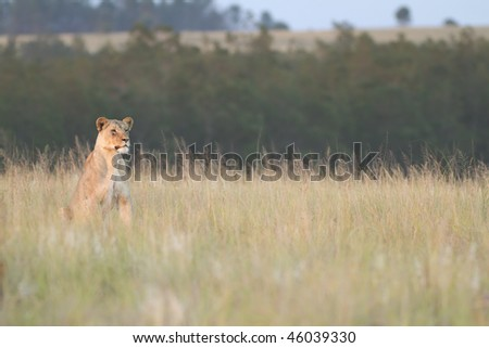 Lioness scans plains for prey in late afternoon sunset - stock photo